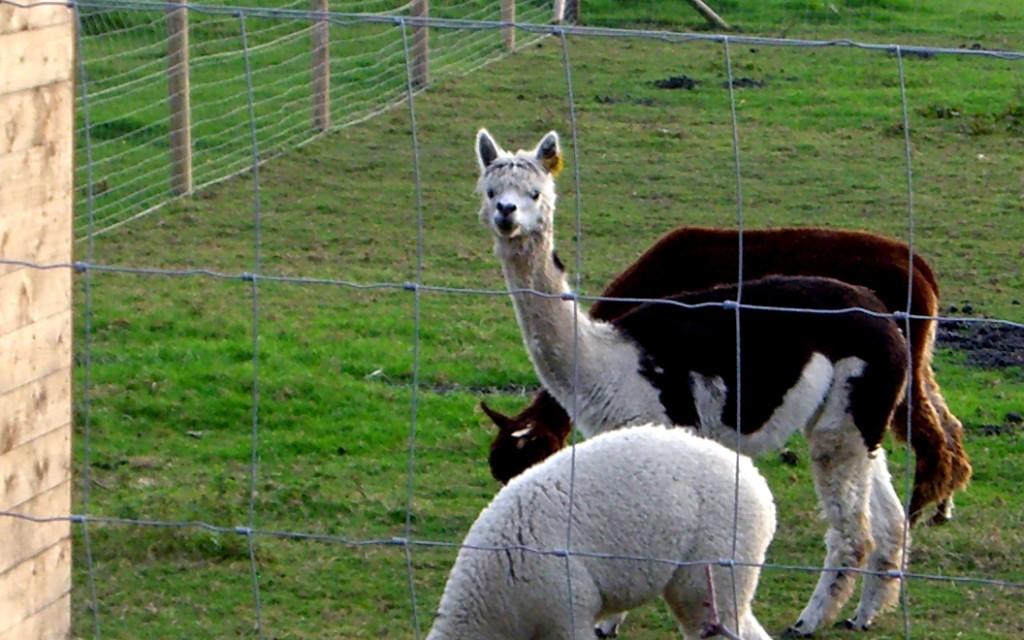 20090906 Alpaca at Hill Farm Packington_exCIMG1808